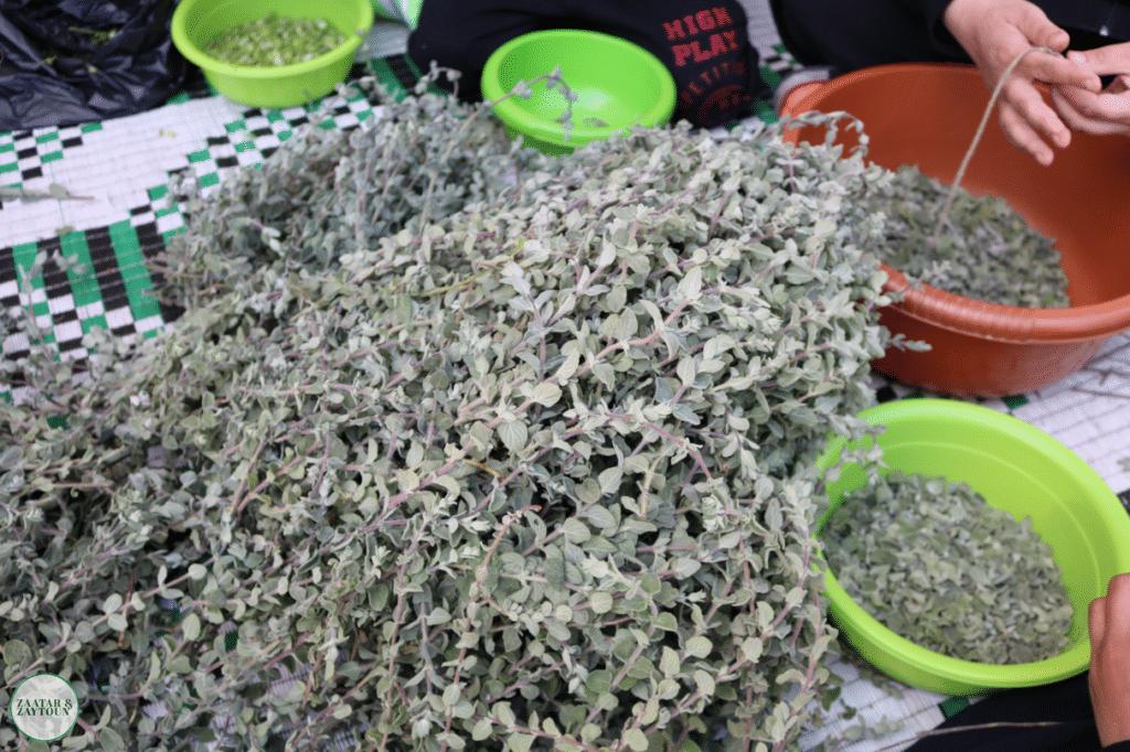 Zaatar harvest
